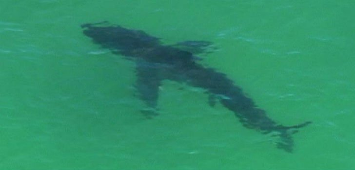 SHark - 7 News Brisbane