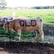 QLD Cows