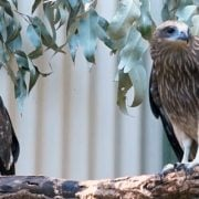 Wildlife Wednesday Brahminy Kites