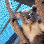 Wildlife Wednesday Tack Koala